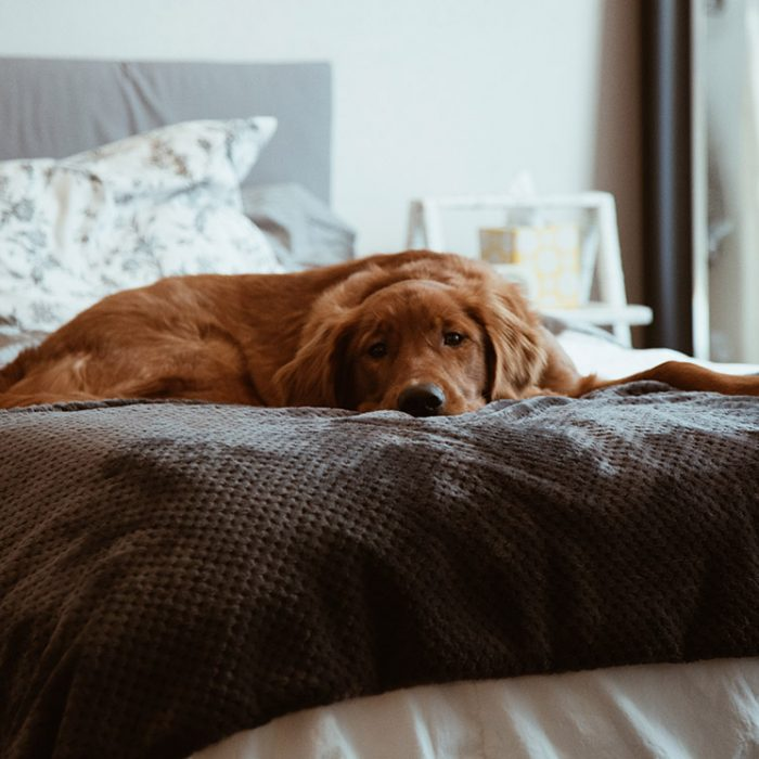 Large brown dog lying on a bed.